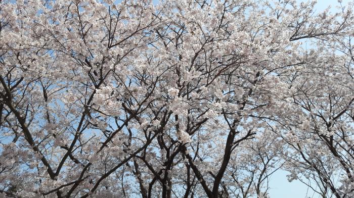2020プロ野球開幕戦3月20日 桜