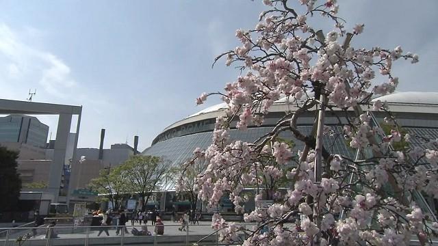 桜と東京ドーム プロ野球2021シーズン開幕